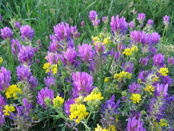 Картинки по запросу картинка, летние цветы луговые