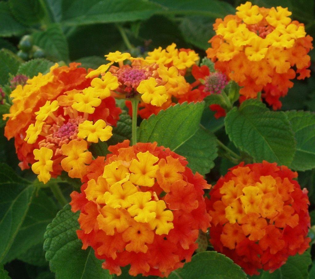 Цветы фото и латинские названия