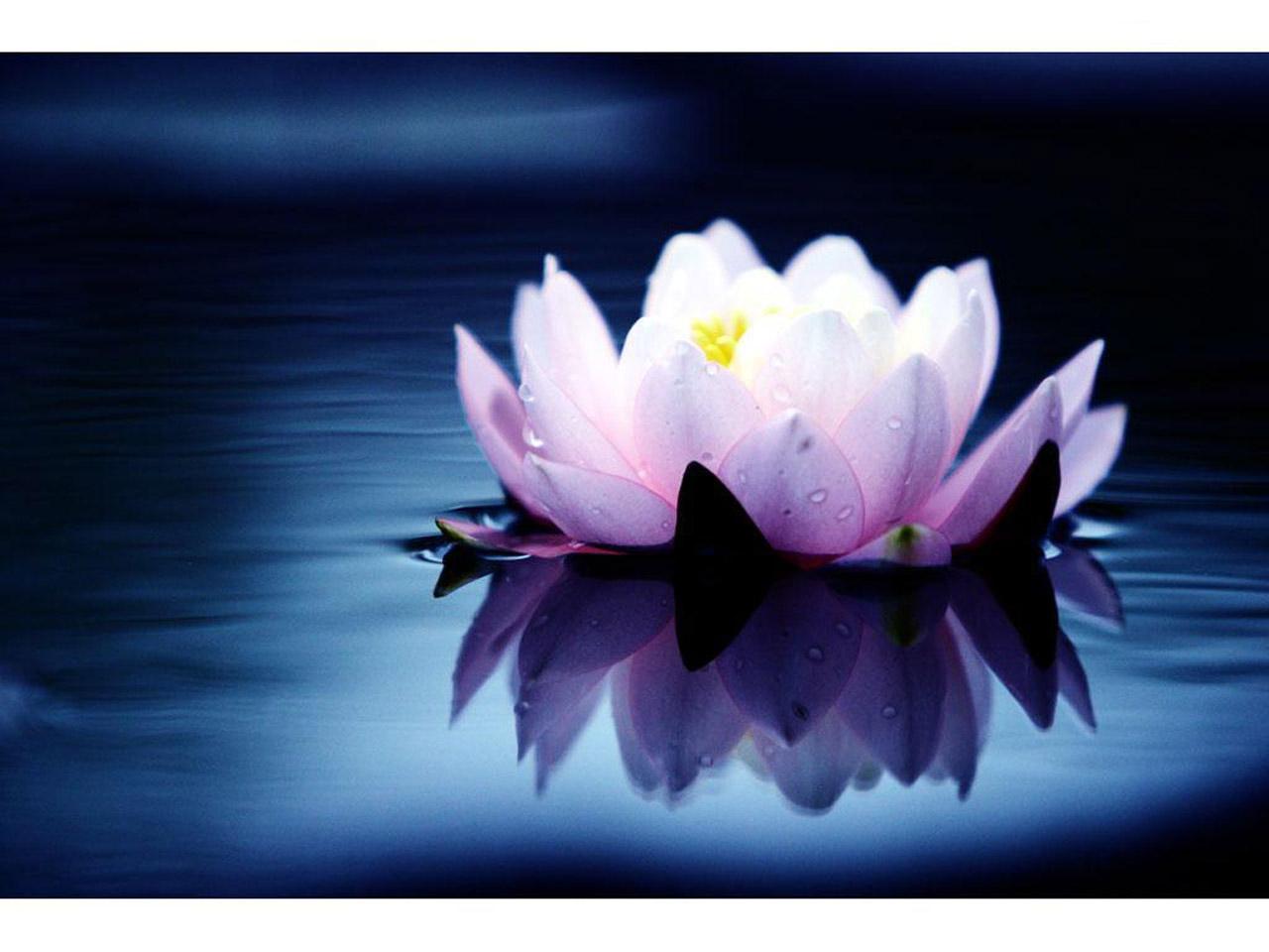 Картинки цветка лотоса