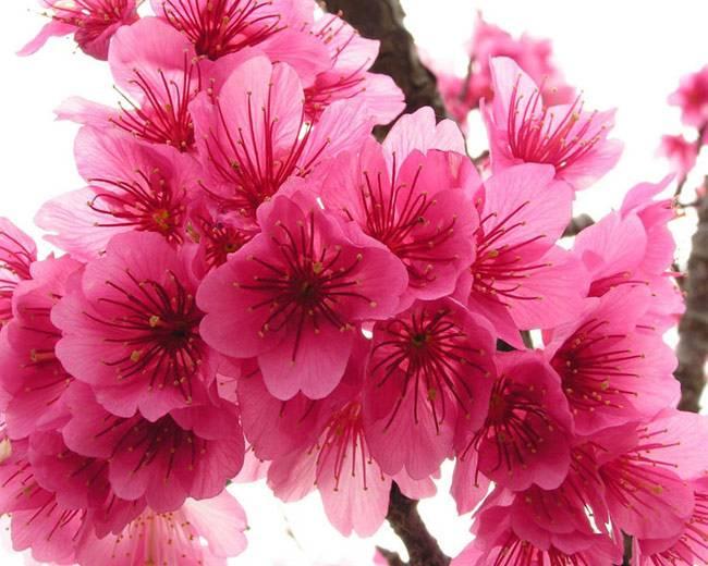 Фото цветок сакуры