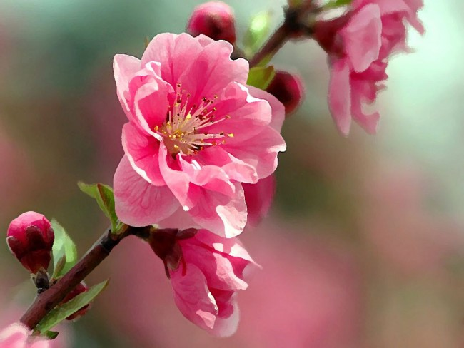 Цветок сакуры-фото